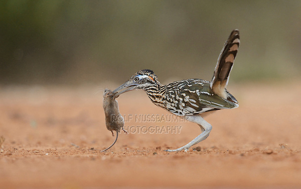 Greater Roadrunner (Geococcyx californianus), adult with mouse prey, Rio Grande Valley, South Texas, Texas, USA