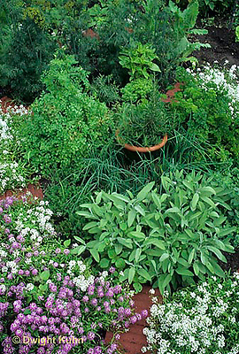 HS35-010b  Herb garden - Alyssum flowers- Lobularia maritima; herbs -sage, parsley, rosemary, thyme, dill, basil, marjoram, chives