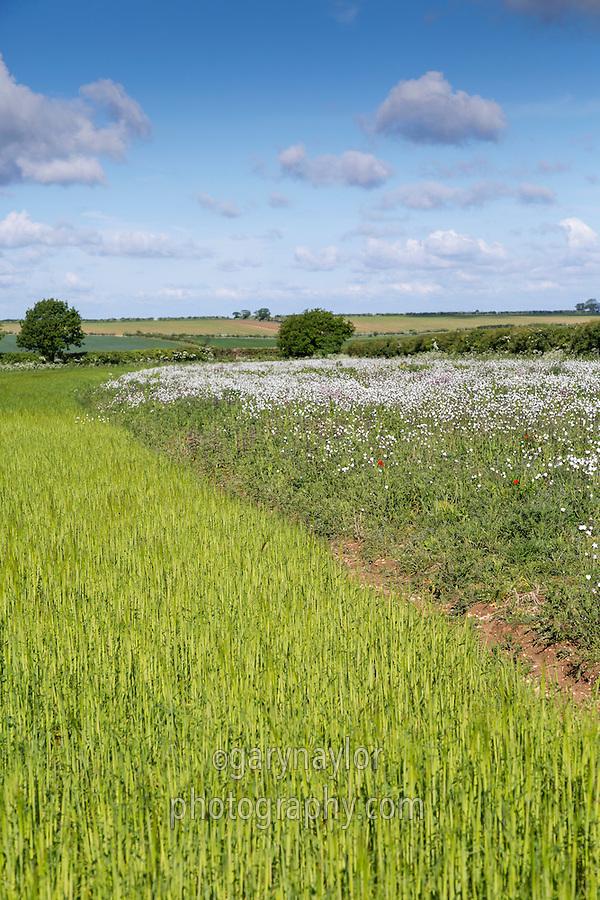 Conservation headland - Norfolk, May