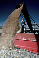 Montana, USA, September, 1978. Agriculture - wheat harvest near Chester area.