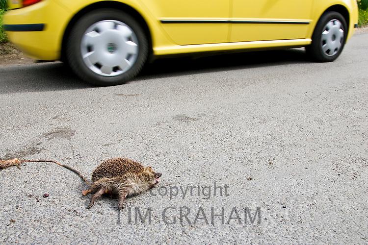 Car drives past dead hedgehog on country road, Swinbrook, Oxfordshire, United Kingdom