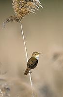 Teichrohrsänger, Teich-Rohrsänger, Rohrsänger, Acrocephalus scirpaceus, reed warbler