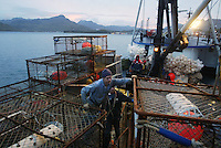 10/12/03 crab NWS::  Crabber Steve Maher,  of Vashon Island, Wash. (front center) and Jeff Rhodes from Albuquerque, NM. (right rear), shift pots around on the F/V Western Mariner, based out of Seattle, Wash. while Chris Hansen, from Seattle, WAsh. (back) runs the crane in Dutch Harbor, AK.  The crew is getting the boat ready to go red king crab fishing in the Bristol Bay by stacking 139  7 X 7 foot crab pots on the back deck.  The season opens on October 15, 2003 and may be one of the last where the fishermen can fish without quotas.