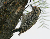 Ladder-backed woodpecker adult female at nest hole