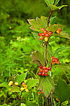 Close up of highbush cranberry, Kenai Wildlife Refuge, Southcentral Alaska, Summer.
