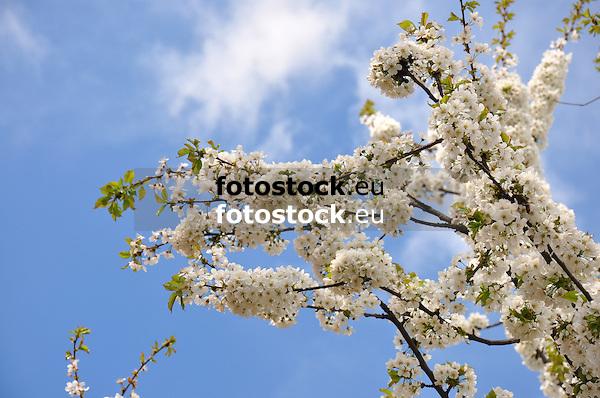 weiße Kirschblüten am Zweig eines Kirschbaums vor blauem Himmel