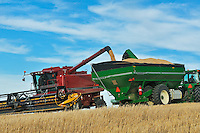 Unloading durum wheat into grain cart<br /> Carmichael<br /> Saskatchewan<br /> Canada