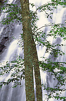 The white waters of Crabtree Falls tumbles down a sheer rock face beyond a tall tree with sparse branches and green leaves. waterfall, clean, pure. Crabtree Falls. North Carolina, Crabtree Falls.