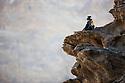 Namibia;  Namib Desert, Skeleton Coast, Hoanib River, dominant male chacma baboon (Papio ursinus) sitting on rocky ridge