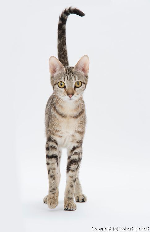 Sokoke Cat - Classic Ticked Tabby, Female