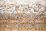 Snow Geese (Chen caerulescens) and (Greater) Sandhill Cranes (Grus canadensis) flock taking flight from corn field, Bosque Del Apache National Wildlife Refuge, New Mexico, USA