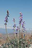 Panamint Mountains lupine, Lupinus magnificus magnificus, in upper Wildrose Canyon, Death Valley National Park, California