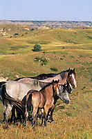Wild horses, Badlands, North Dakota..(Equus caballus)