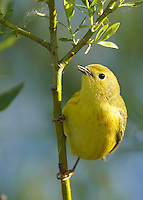 Warblers - Yellow