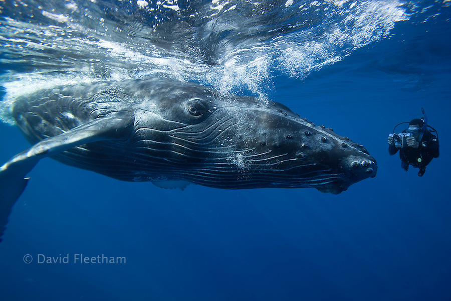 A camera man (MR) lines up on a humpback whale, Megaptera novaeangliae, Hawaii.