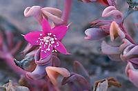 (Aizoaceae), blooming, Namib Desert, Namibia, Africa