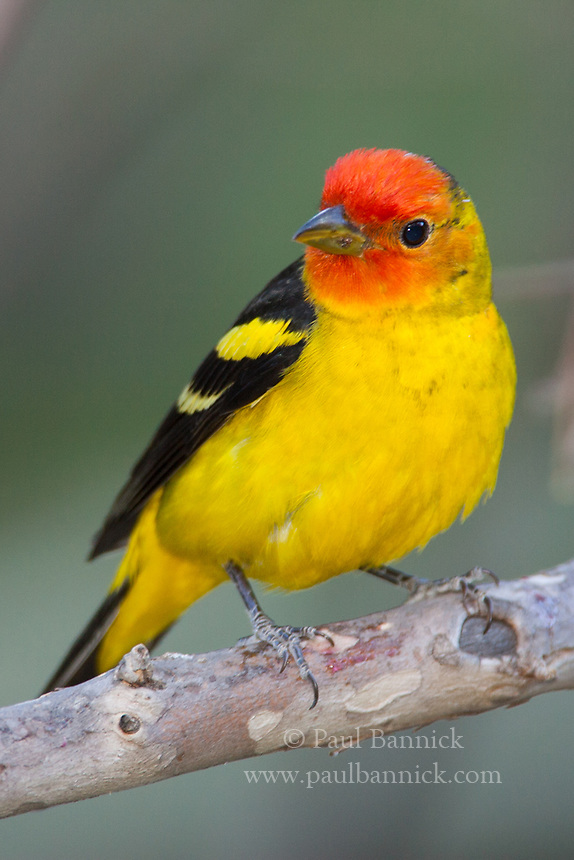 A Western Tanager pauses on an Arizona Sycamore during spring migration.