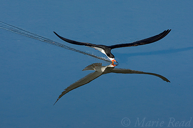Black Skimmer (Rynchops niger), skimming with its open beak just below the water's surface in search of prey, Bolsa Chica Ecological Reserve, California, USA