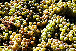 These Orange Muscat wine grapes came from Farmer John Wadkin's vines and are being pressed at Hard Row to Hoe Winery. Orange Muscat is a white grape variety. When made into wine, it exhibits Muscat characteristics with a strong aroma of oranges and a taste of orange blossoms.