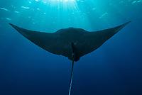 Black manta ray, Manta birostris, near surface at Roca Partida in the Socorro Islands, Mexico, Pacific Ocean (dm)