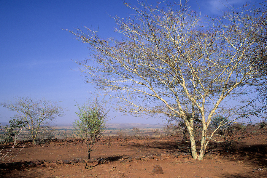 Acacia Seyal Tree, a Tree of the African Savanna.