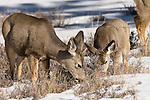 Bryce Canyon National Park, Utah; a mother and juvenile Mule Deer (Odocoileus hemionus) grazing on grasses exposed through the snow in winter