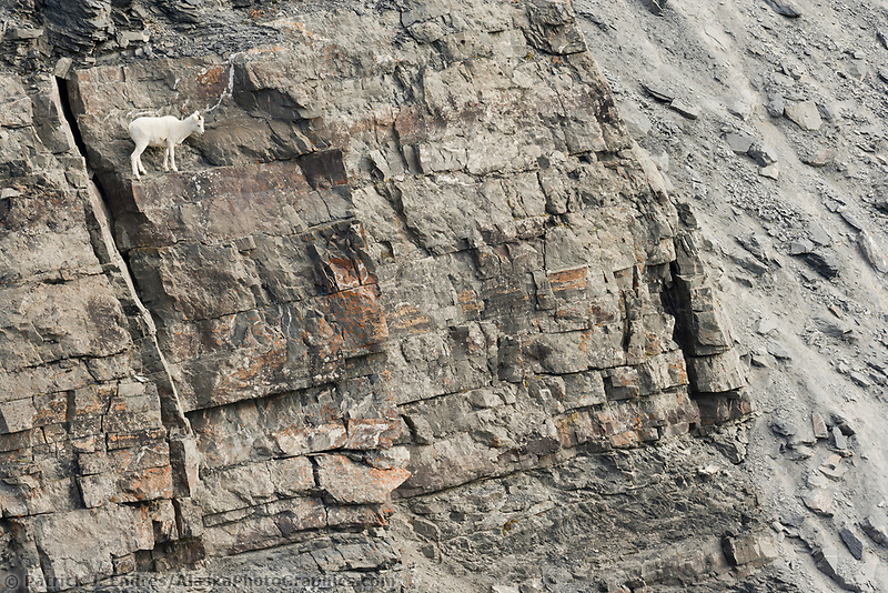 Dall sheep along the rocky cliffs of the Brooks Range, Arctic, Alaska.