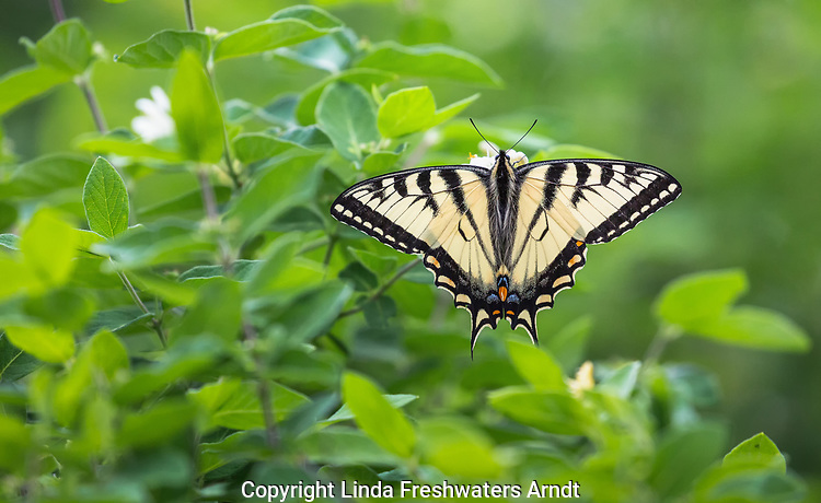 Eastern Tiger Swallowtai