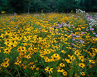 Jefferson County, WV<br /> Black-eyed Susan (Rudbeckia hirta), wild bergamont (Monarda fistulosa), and mayweed (Anthemis cotula), blooming in an open field in summer