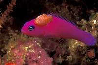 Beauty and the Beast: This gorgeous Magenta Dottyback, Pseudochromis porphyreus, is plagued by a parasitic isopod. Raja Ampat Islands, West Papua, Indonesia, Pacific Ocean....
