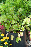 Salad greens Leaf beet in vegetable container garden with yellow marigolds
