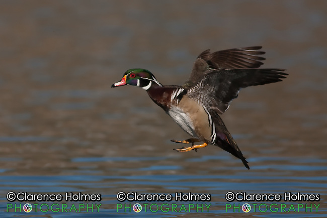 Wood Duck (Aix sponsa) - Male gliding in for a water landing