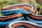 San Francisco Garter Snake (Thamnophis sirtalis tetrataenia) female, Pescadero, California