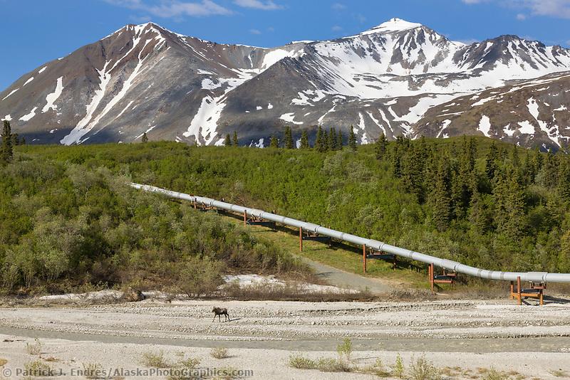 Cow moose on Little Miller creek drainage, trans Alaska oil pipeline, Alaska range mountains, interior, Alaska.