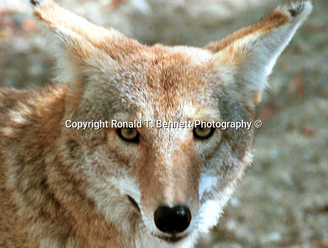 Coyote, Canis latrans, prairie wolf, North America, barking dog, coyotl, animal, wild animals, domestic animals,  Fine Art Photography, Alert Bobcat, Bobcat rest, rest, Bobcat, Lynx, felidae, predator, whiskered face, black tufted ears, brown coat, Animal, wild animals, domestic animals,  Fine Art Photography, Ron Bennett Photography © Fine Art Photography by Ron Bennett, Fine Art, Fine Art photography, Art Photography, Copyright RonBennettPhotography.com ©