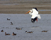 American white pelican landing over group of northern pintails
