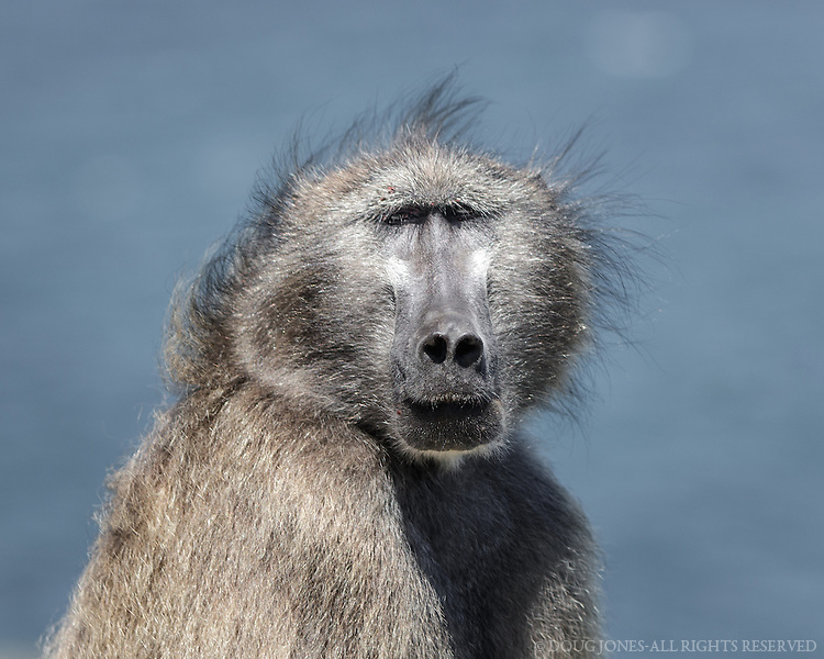 One of the many baboons found in the Cape Point region.