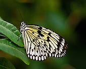 Paper Kite, also called Rice Paper, Paper White or Large Tree Nymph, rests on a green leaf with his body erect showing of his wings agains a multi-green background. Head, body, eyes, antenne and legs very apparent.