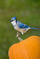 Blue Jay (Cyanocitta cristata) resting on top of Halloween pumpkin.  Nova Scotia. Canada.