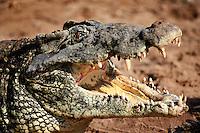 Endangered Cuban Crocodile, Zapata Reserve, Cuba