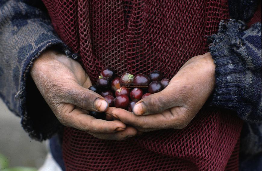 Prunus cerotina fruit