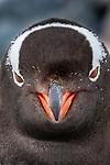 Antarctica , Gentoo penguin