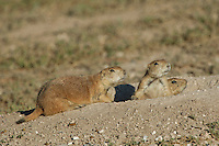 Black-tailed Prairie Dog, Cynomys ludovicianus, adults at entrance to burrow, Lubbock,Texas,September 2005