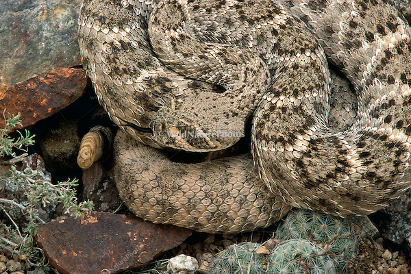A Western Diamondback Rattlesnake (Crotalus atrox), coiled and waiting for prey, is well camouflaged.