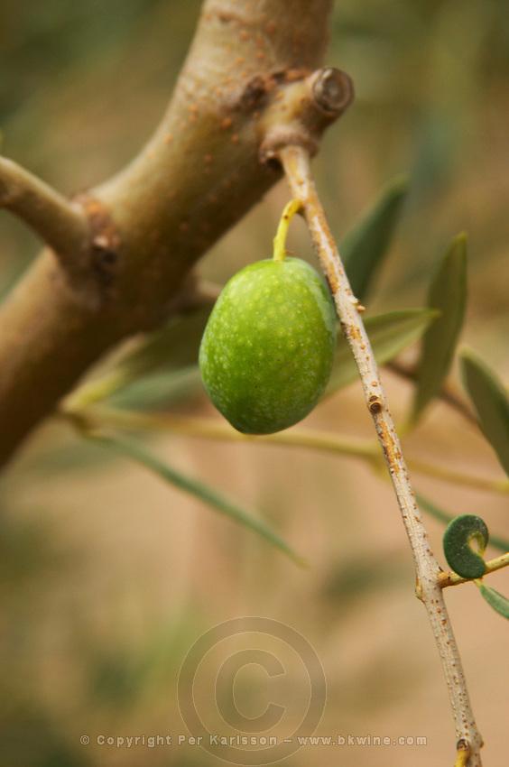 Olives on a branch Verdalo variety. Moulin Mas des Barres olive mill, Maussanes les Alpilles, Bouches du Rhone, Provence, France, Europe