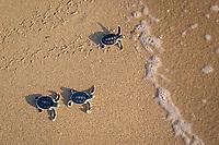 Australian flatback sea turtle hatchlings, Natator depressus (c-r), enter ocean for the first time, Crab Island, off Cape York Peninsula, Torres Strait, Queensland, Australia