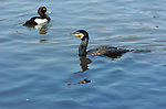 Japanese Cormorant Temminck's Cormorant Sankeien Garden Yokohama Japan (with Tufted Duck)