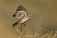 578830024 a wild sage sparrow amphispiza belli nevadensis perches on a sagebrush branch in kern county california