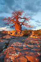 Colourful baobab