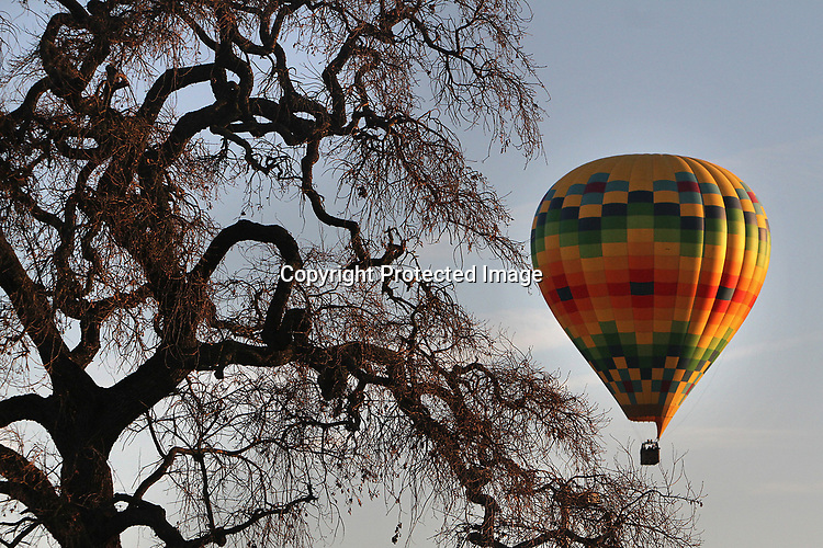 Hot air ballloons sail over Napa Valley vineyards.